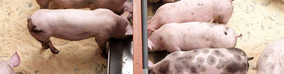 Menos-kilos-de-alimento-por-cerdo-finalizado-Eficiencia-alimenticia-total-en-Produccion-Porcina-Topigs-Norsvin-Argentina-TNA_web